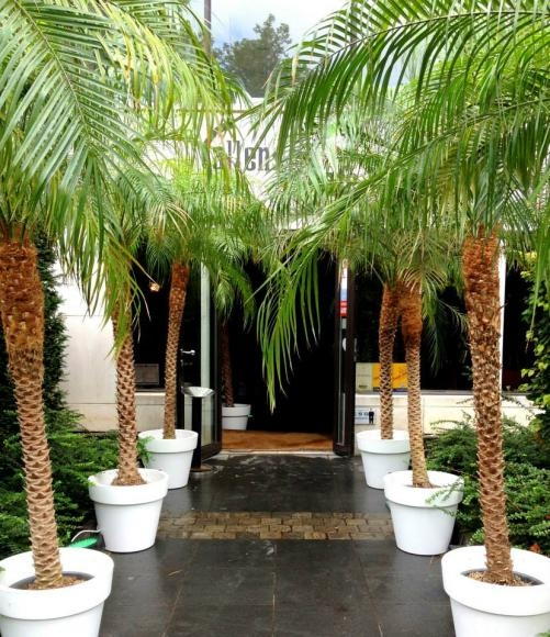 Location de palmier pour vos v nements sur lille paris for Arbuste en pot exterieur