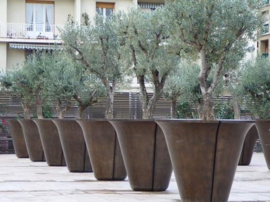 Location pour v nement d 39 olivier centenaire sur lille paris marseille - Acheter olivier centenaire ...